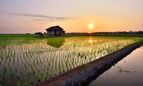 Trung Quốc tạo giống lúa nước mặn nuôi sống 200 triệu người